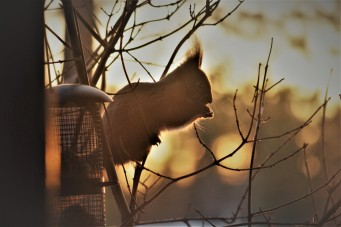 red-squirrel-in-lapland